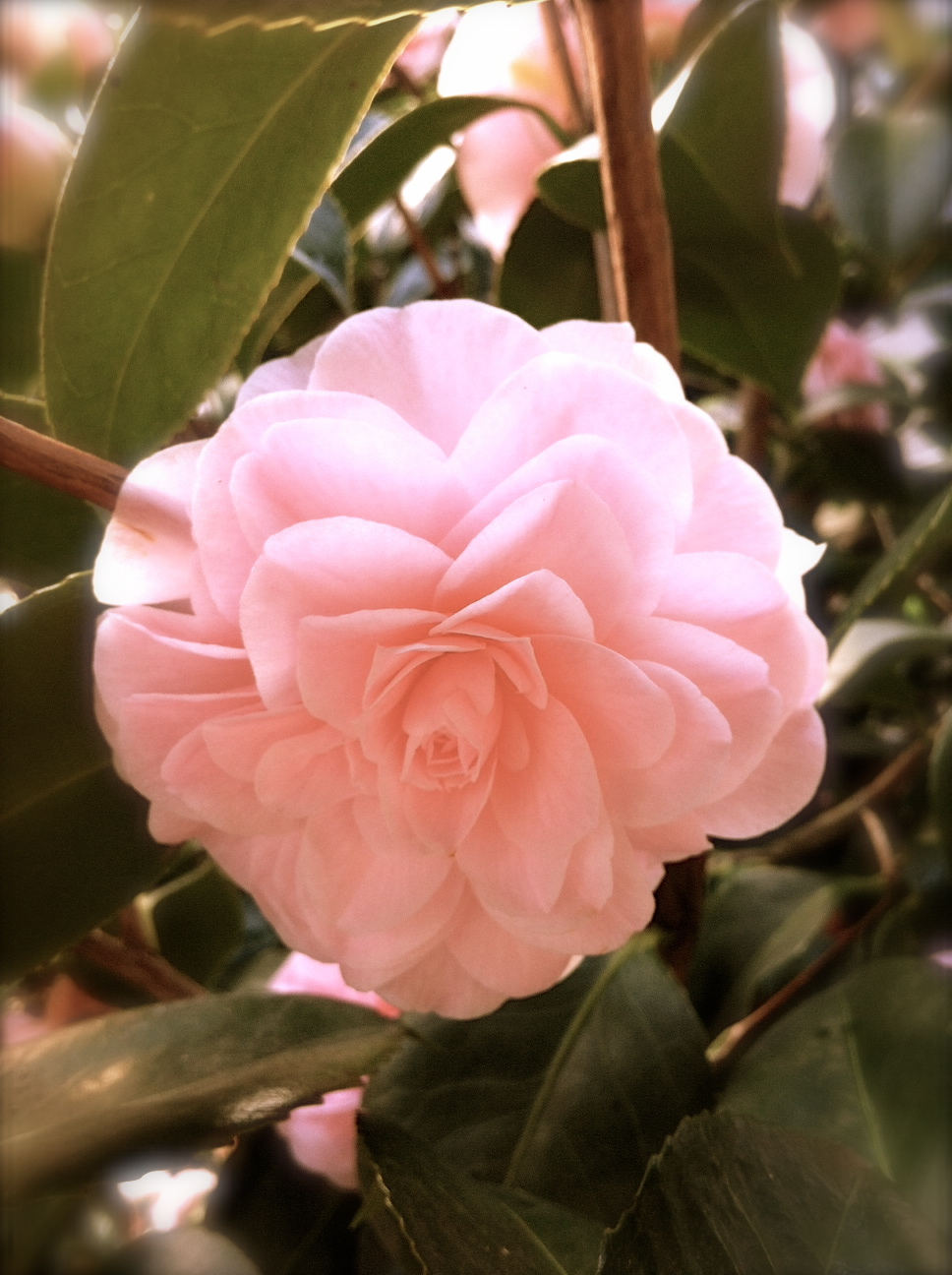 MemoriesOfCamellias